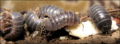 Fun learning games for toddlers: Looking at woodlice up close.