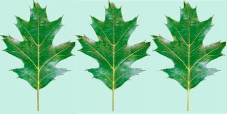 Oak leaves for printable family tree template.