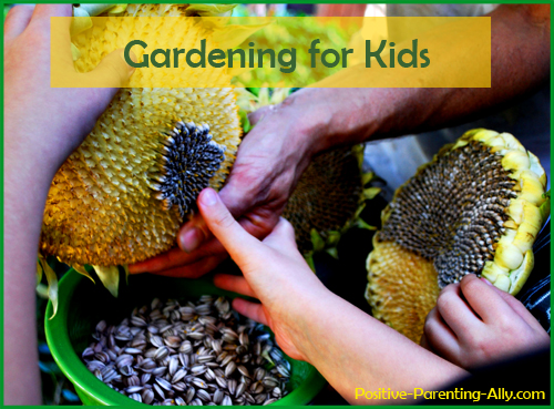 Fun outdoor games: gardening for kids. Harvesting sunflower seeds.