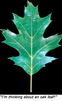 Learning games for kids outdoors: Photo of an oak leaf
