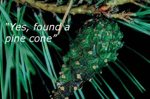 Fun kids learning activities in nature: Photo of a pine cone