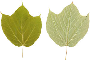 Great activities for toddlers: Physics game with leaves: picture of two green leaves.