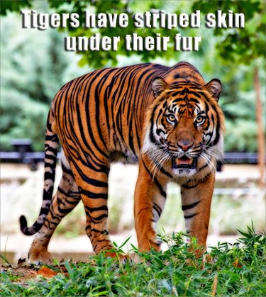 Fun animal facts: tigers have striped skin under their fur.