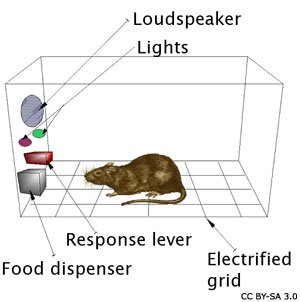 Skinner's Operant Conditioning Box with a rat